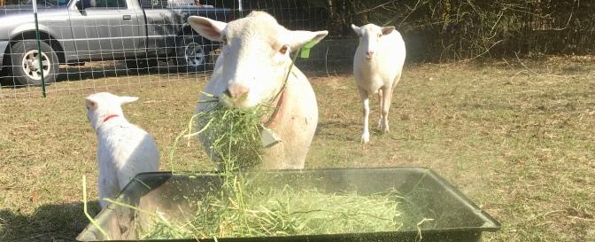 A Lamb on the Farm
