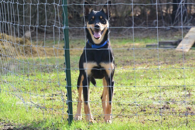 "Introducing ""Glide"", an experienced Kelpie."