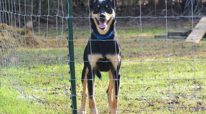 """Introducing """"Glide"""", an experienced Kelpie."""