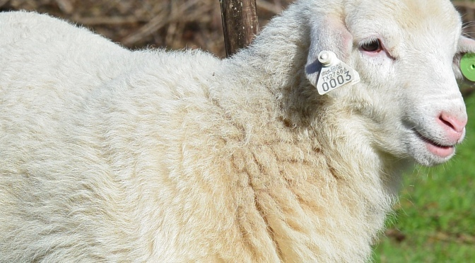 Tryggvason Farm is now part of the USDA National Scrapie Eradication Program